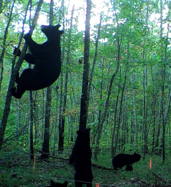 Black bears Alabama