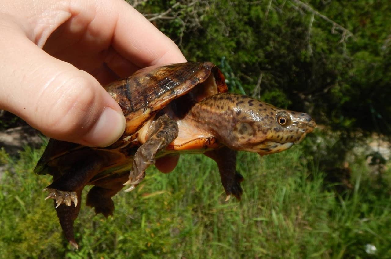 Alabama turtle