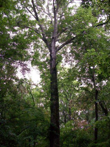 Tree Alabama