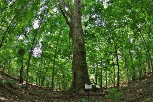 Alabama Champion Oak