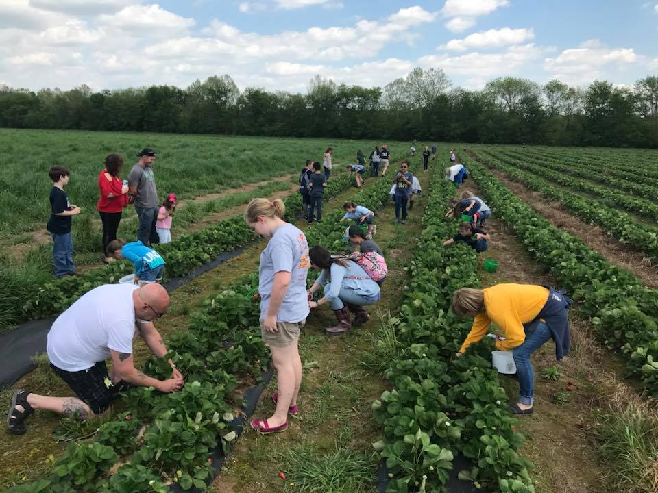 5 u-pick strawberry farms just a short drive from Birmingham, and more