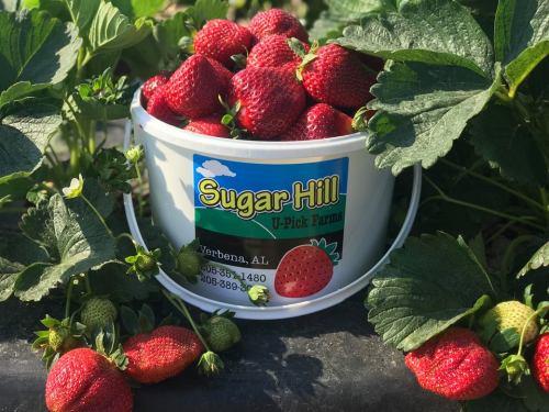 Birmingham, Alabama, U-Pick Guide, Strawberries, Sugar Hill, Chilton County