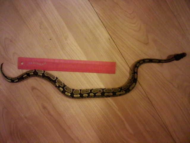 Missing ball python in Birmingham is found