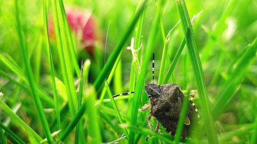 Birmingham, Alabama, stink bugs, Halyomorpha halys