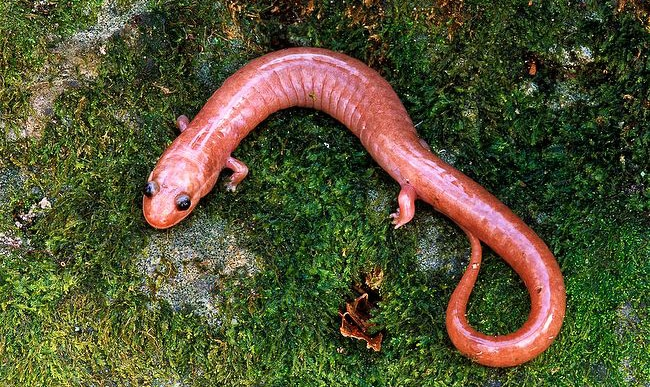 The Red Hills Salamander is another type of salamander in Alabama that's actually our state amphibian.