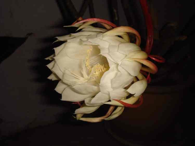 Salamanders in Alabama can be like the night blooming cereus, coming out only once a year at night.