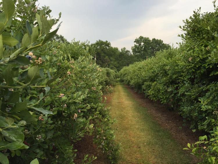 Lyon Blueberry Farm is a u-pick farm near Birmingham.