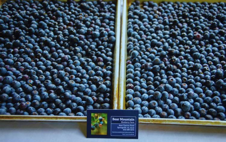 Bear Mountain Blueberry Farm is a u-pick farm near Birmingham.