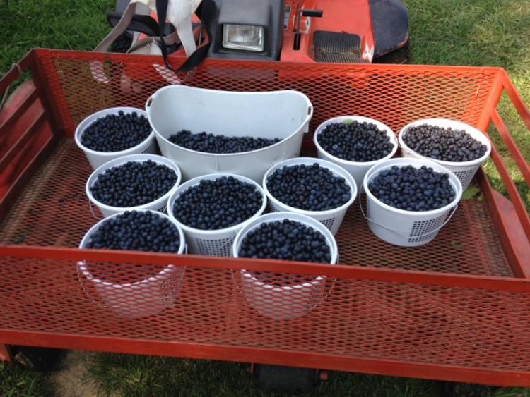 Blueberries at a u-pick farm near Birmingham