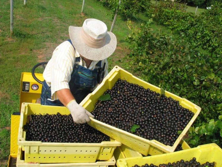 Morgan Creek Winery has muscadines.