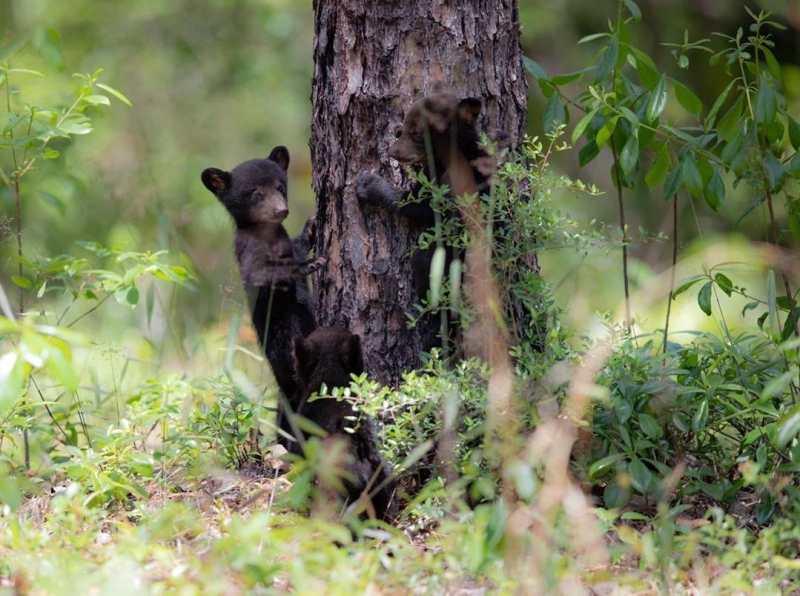 Baby black bears climb up a tree