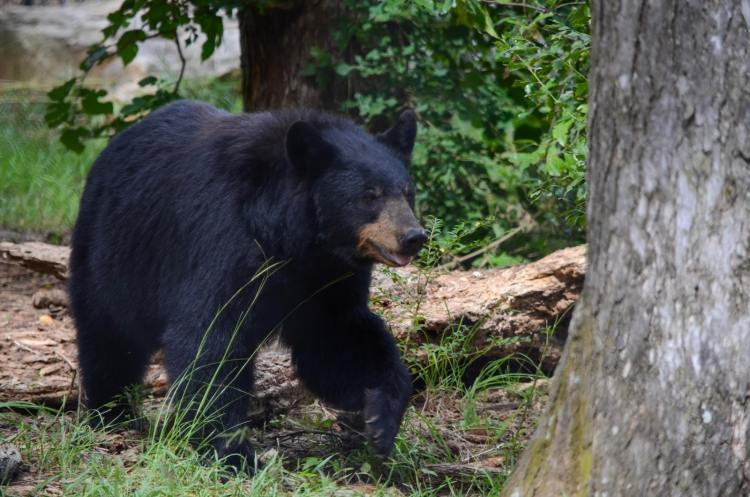 Black bear walking through trees at The Birmingham Zoo