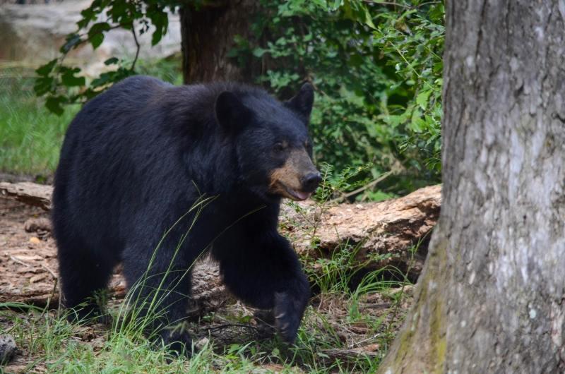 Black bear walking through trees at The Birmingham Zoo