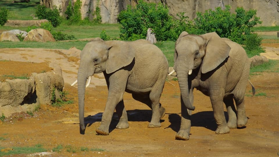 Meet Luti and Gadze – the African elephants who have joined the Birmingham Zoo family (Pics & Video)