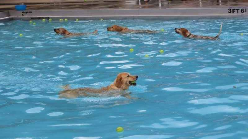 Pups in the pool at the Pooch Plunge