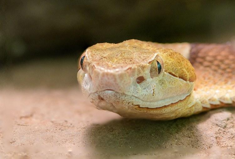 Copperhead, snake