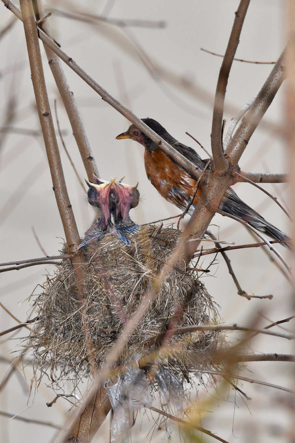 "Birding expert discovers ""Thanksgiving miracle"" at UAB. Latest confirmed robin nesting in Alabama."