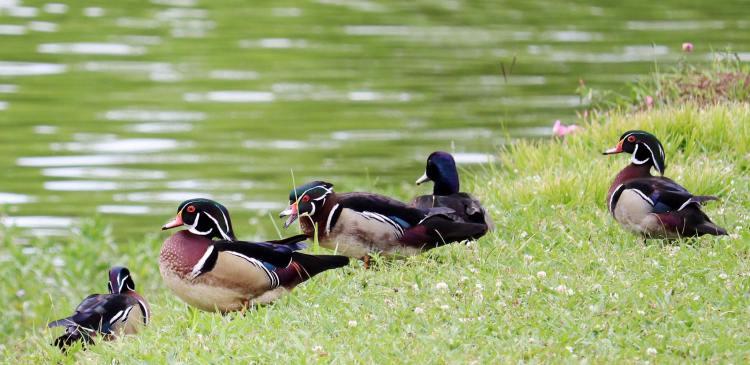 Wood ducks at East Lake Park. Photo via Carla White