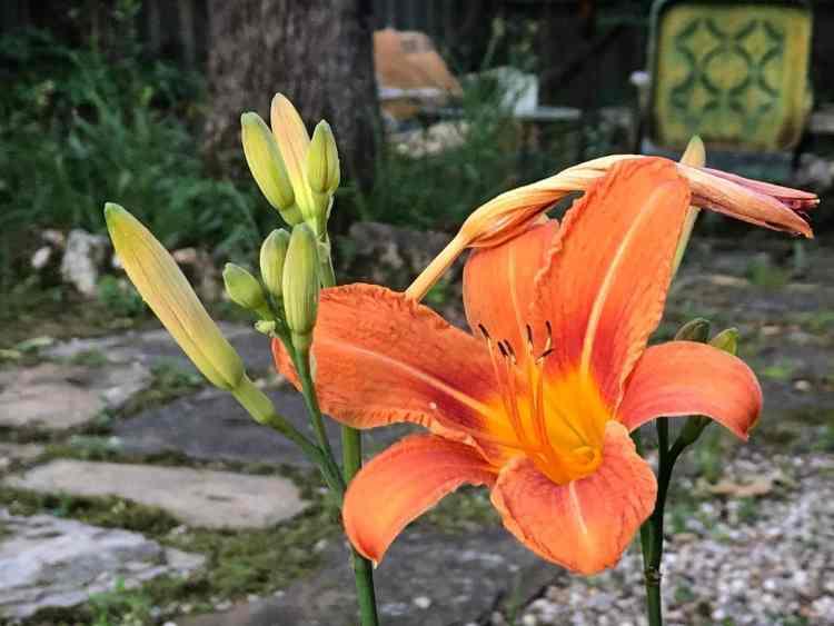 lily in a Birmingham yard - photo via Michelle Reynolds