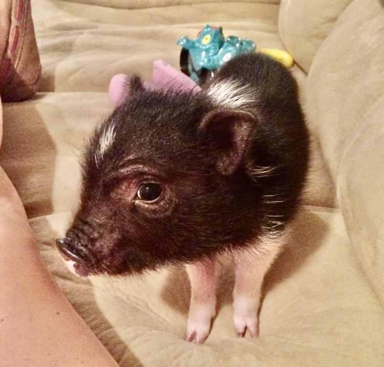 Birmingham, pig, mini pig, micro pig