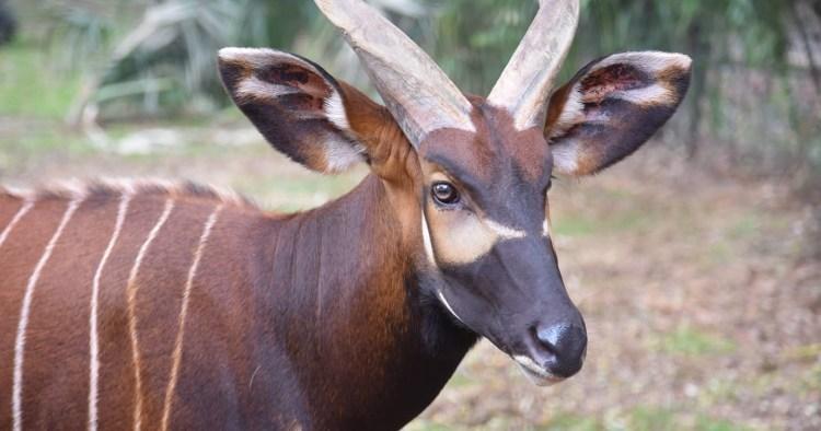 bongo, Birmingham Zoo