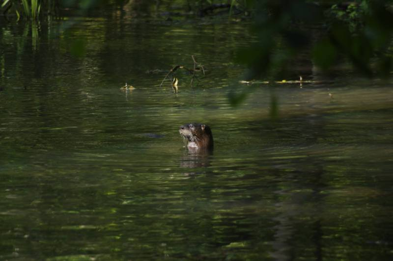 Otter at Ebenezer Swamp