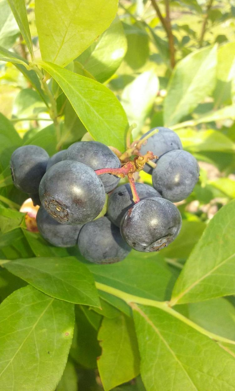 holmestead, u-pick blueberry farms