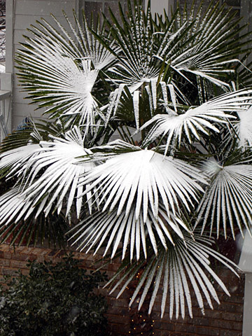 Avondale Snow Palms - by James Faivre