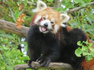 Padmaja Naidu Himalayan Zoological Park Red Pandas