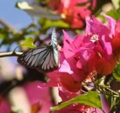 Wanderer Butterfly- Male