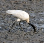 BLACK HEADED IBIS WITH BEAK FULLY INTO THE MUD