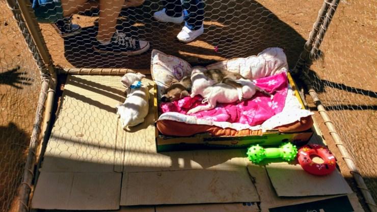 projeto_experimente_adocao_cachorros