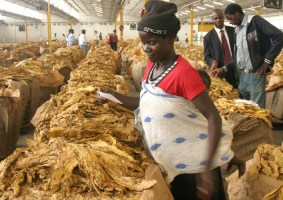 WHO Campaigns Against Zimbabwe's Major Export Tobacco