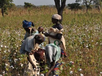 Cotton Growers To Get Incentives: RBZ