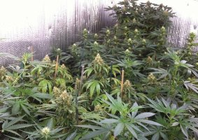 Investors To Patner Government On Growing Cannabis