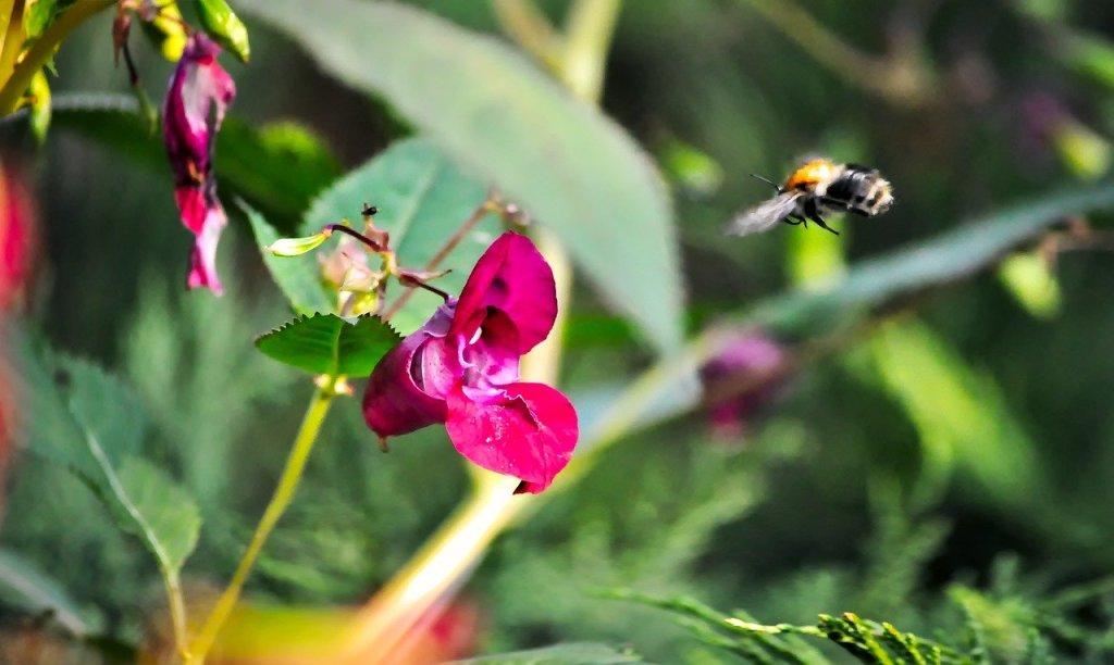 bumblebee, flight, the collection of nectar-3660270.jpg