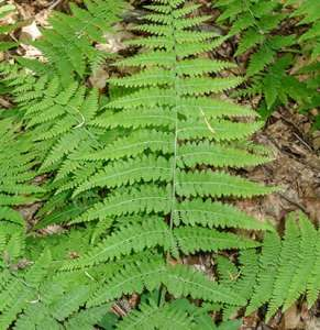 Evergreen Wood Fern (Dryopteris intermedia) Image