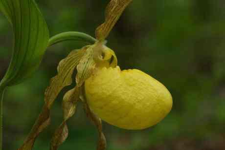 Large yellow lady slipper (Cypripedium parviflorum var pubescens) | BHWP