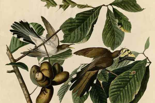 Yellow-billed Cuckoo - Audubon