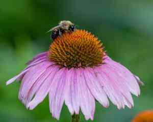 Purple Coneflower (Echinacea purpurea 'Ruby Star') Image