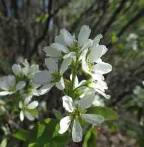 Shadbush; Juneberry (Amelanchier canadensis) Image