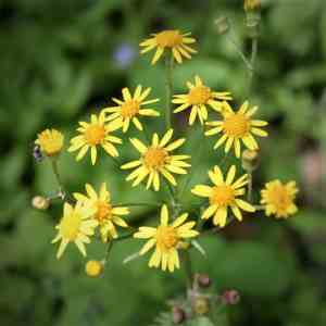 Golden Ragwort (Packera aurea) Image