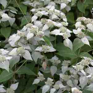 Short Toothed Mountain Mint (Pycnanthemum muticum) Image