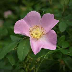 Rose, pasture (Rosa virginiana) 2 to 3 ft plant Image