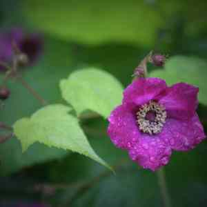 Purple-flowering Raspberry (Rubus odoratus) Image