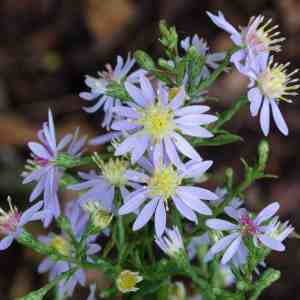 Blue Wood Aster (Symphyotrichum cordifolium) Photo: Mary Anne Borge