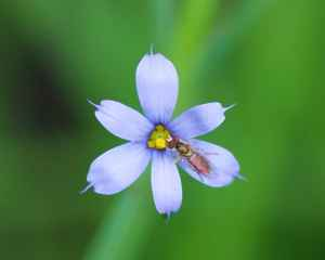 Blue-eyed-grass (Sisyrinchium angustifolium) Image
