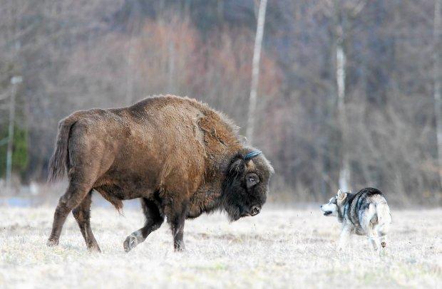 Pies Chester i żubry bawią się na polanie w Teremiskach