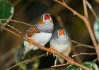 Naukowcy odkryli, że pijane ptaki bełkoczą. Zupełnie jak ludzie