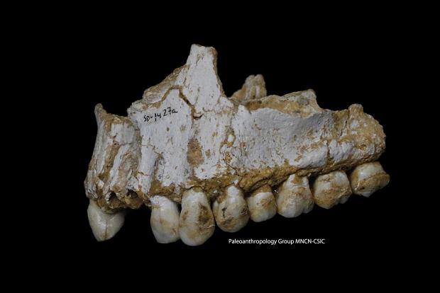 Żuchwa neandertalczyka z jaskini El Sidron